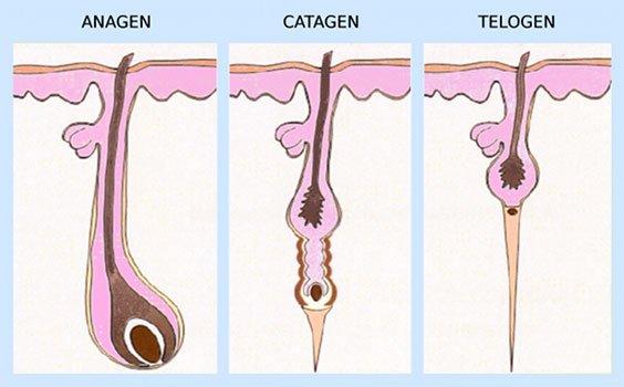 Fases del crecimiento del pelo