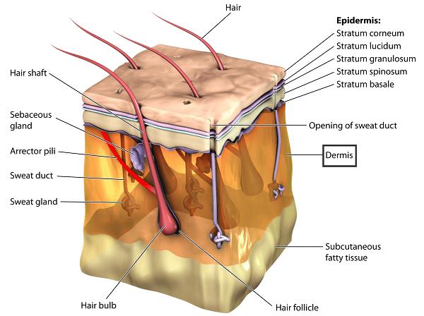 Imagen que ilustra las distintas capas de la piel