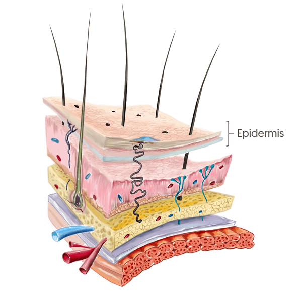 La epidermis es la capa más superficial de la piel
