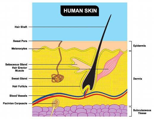 La piel es el órgano más extenso del cuerpo humano