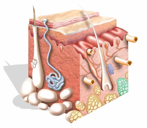 El tejido conjuntivo sostiene y alimenta al resto de tejidos